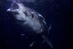Tiburón ballena alimentándose