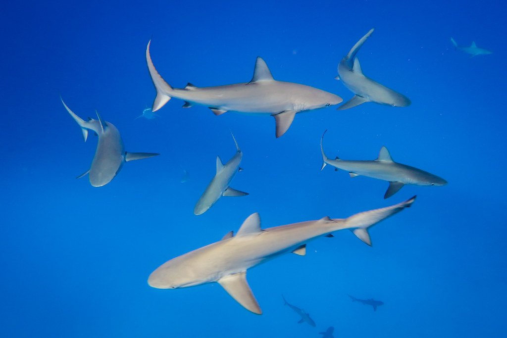 tipos de tiburones hay