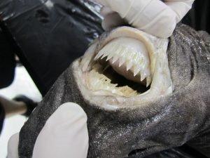 Dientes del tiburón cigarro