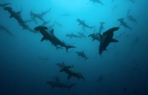 tiburón martillo en grupos