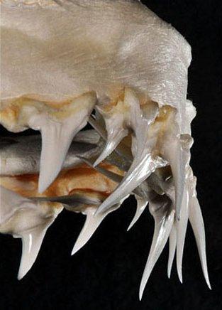 Dientes centrales superiores del tiburón mako de aleta larga