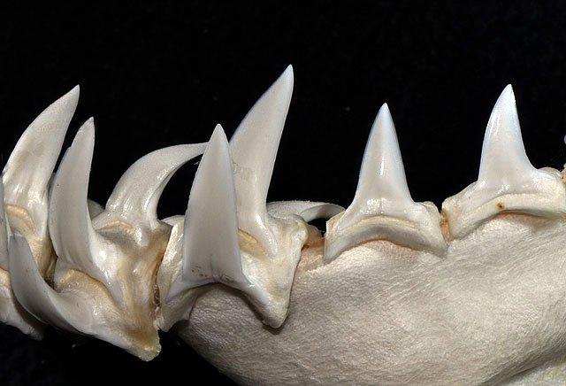 Dientes inferiores del tiburón mako de aleta larga