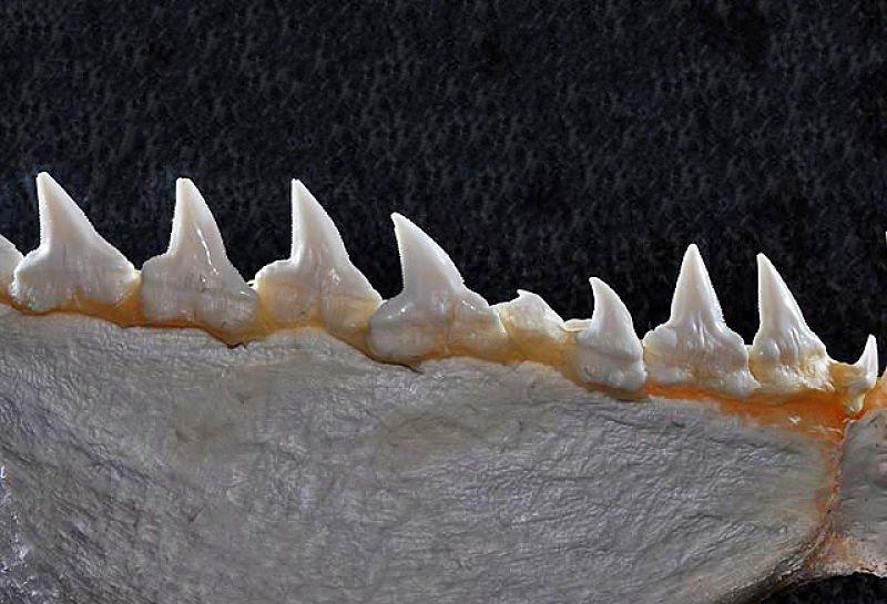 Dientes inferiores del tiburón martillo