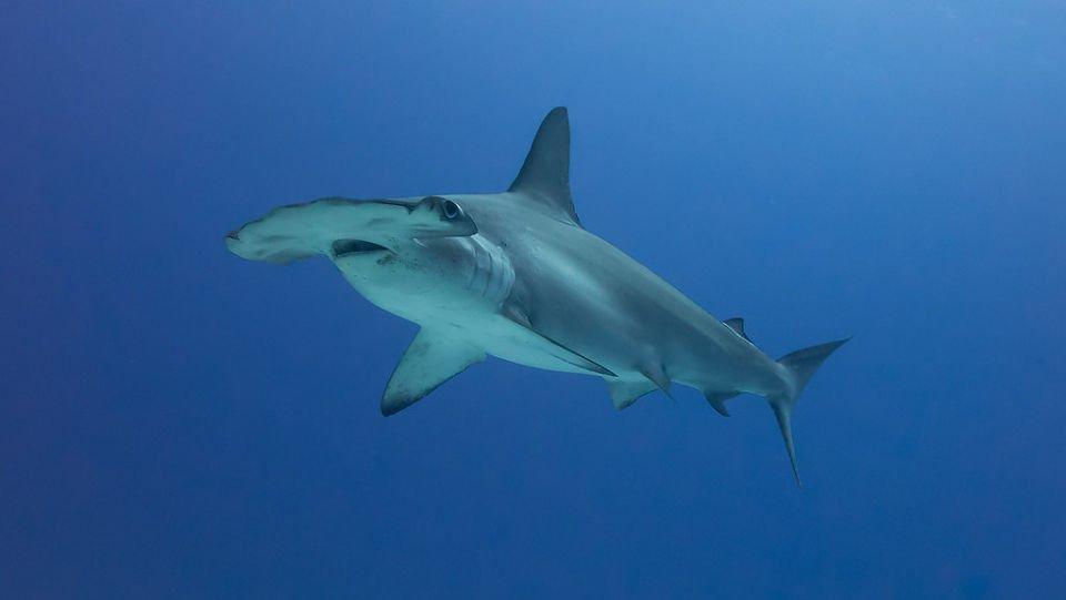 Fotos del tiburón /martillo