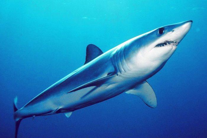Fotos del tiburón mako