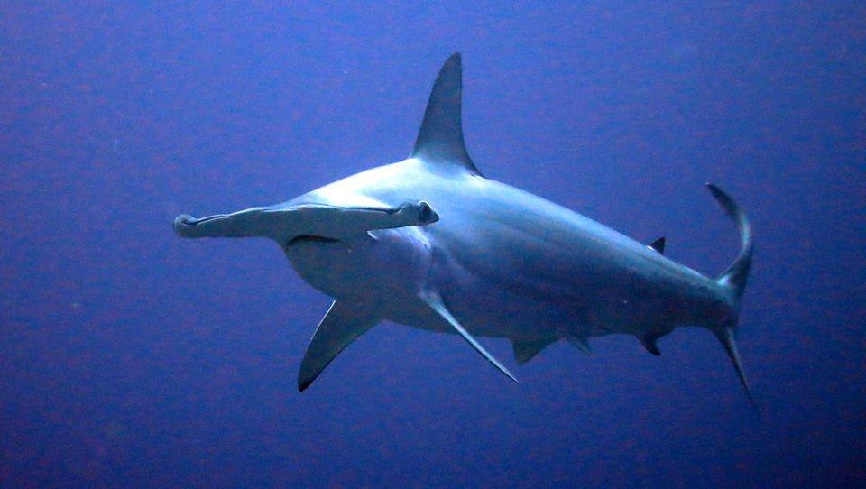 Tiburón martillo peligroso