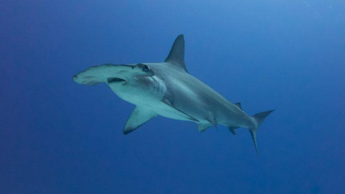 imagenes de pez martillo para dibujar, imagenes de tiburon martillo gigante, imagenes de tiburon martillo para imprimir