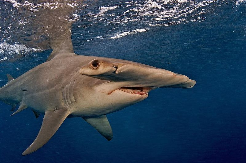 Tiburón Martillo Gigante La Mas Actualizada Información