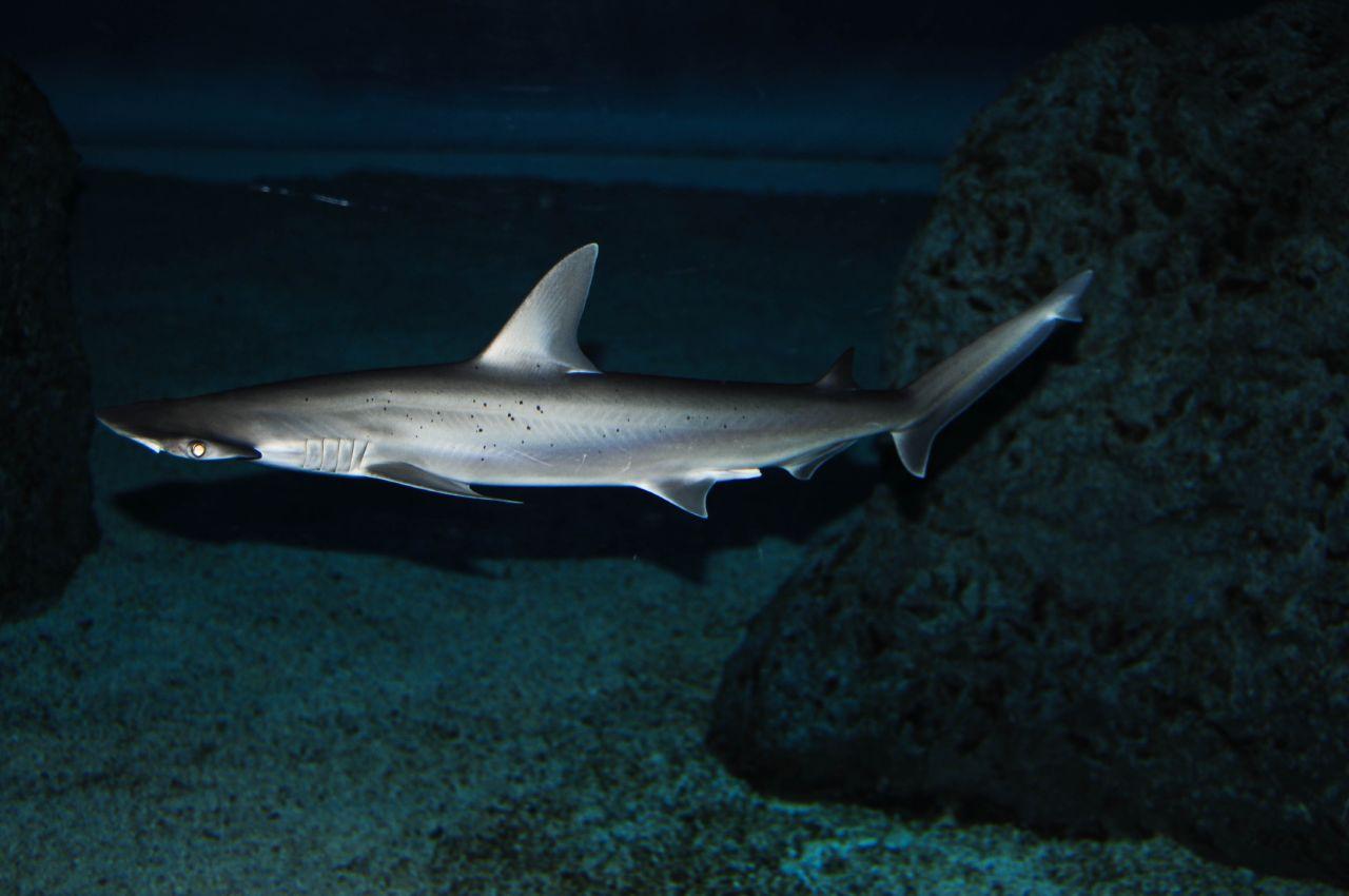 Sphyrna tiburo, cabeza de pala