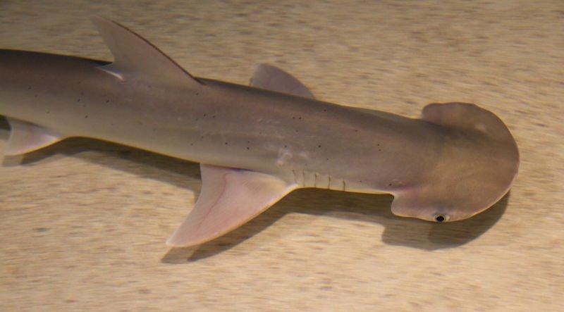 Sphyrna tiburo, fotos del tiburón martillo cabeza de pala