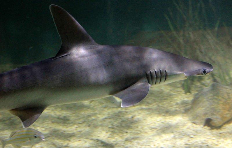 Sphyrna tiburo, tiburón martillo cabeza de pala