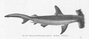 Sphyrna zygaena, tiburón martillo liso