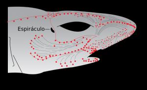 Tiburón blanco, ampolla de Lorenzini