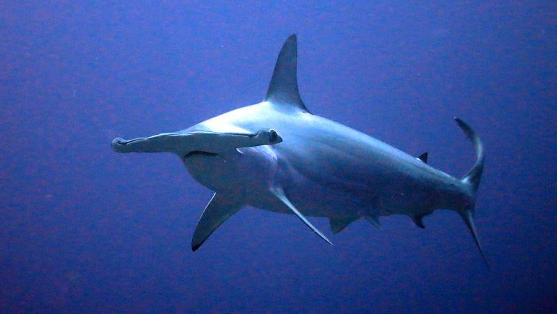 imágenes de un tiburón martillo, imagenes de pez martillo animados, imagenes de pez martillo para colorear