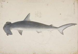 Tiburón martillo liso