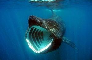 Tiburón peregrino con su enorme boca abierta