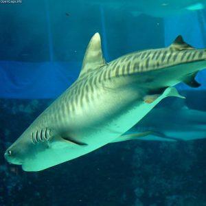 Tiburón-tigre