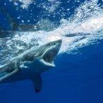 imagenes de tiburon blanco para dibujar, imagenes de tiburon blanco para imprimir, imagenes de tiburones blanco atacando
