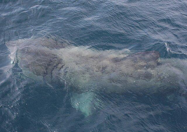 Tiburón peregrino gigante,
