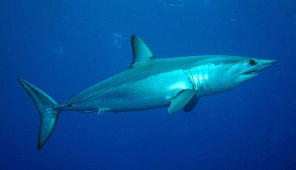 imágenes del tiburón mako