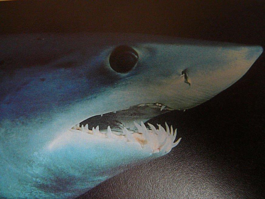 las mejores fotos del tiburón mako