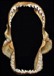 mandíbula abierta del tiburón tigre