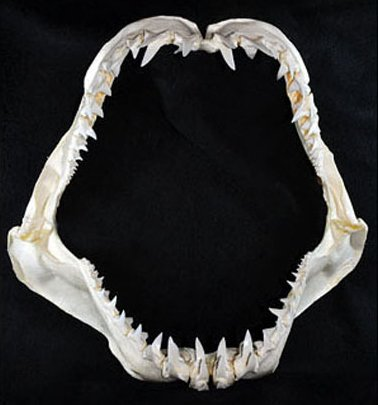 mandibula de tiburón mako de aleta larga