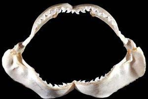 mandíbulas del tiburón tigremandíbulas del tiburón tigre