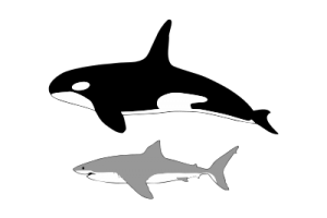 tiburón blanco vrs ballena asesinas