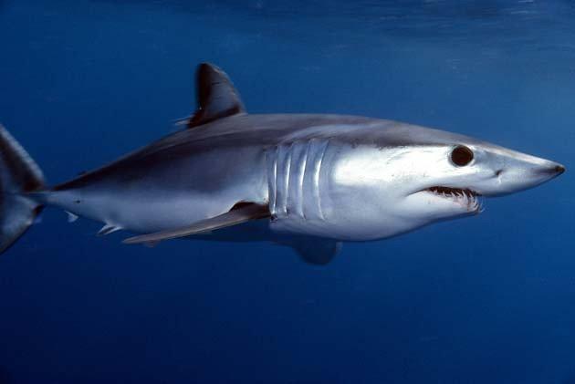Tiburón mako de aleta corta