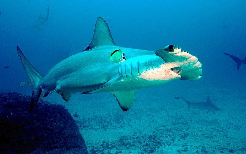 imagenes gif de tiburon martillo, imagenes para colorear de pez martillo, imágenes de tiburones martillos