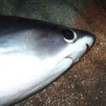 Alopias pelagicus
