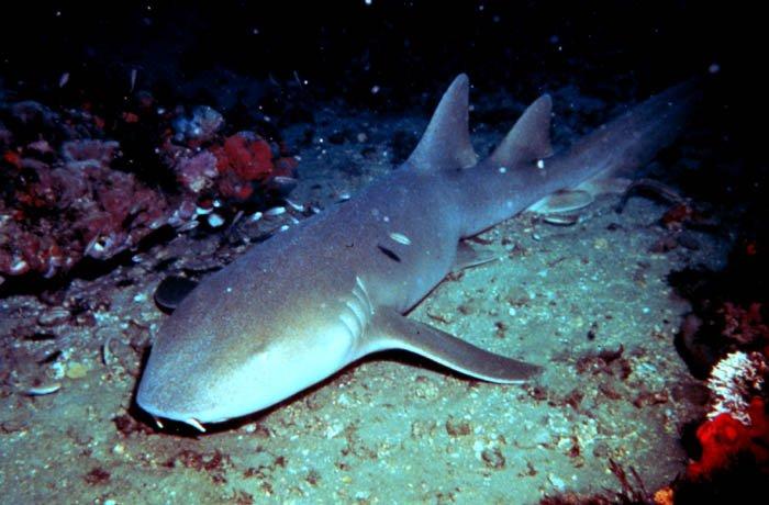 tiburon nodriza acuario