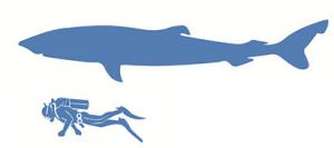 cuanto mide el tiburon de Groenlandia