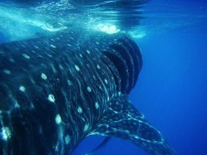 Tiburón ballena riviera maya