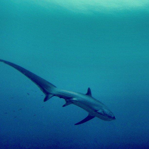 fotografía del tiburon trilladora