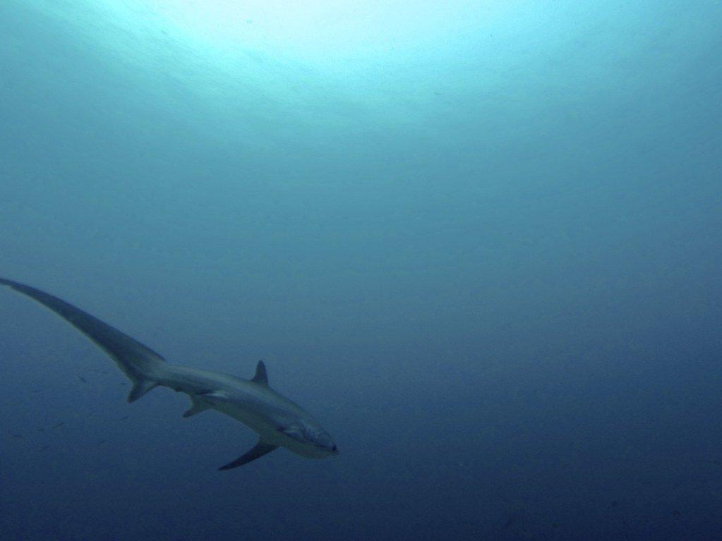 fotos del tiburon trillador