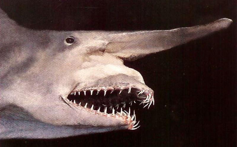 imágenes del tiburon duende