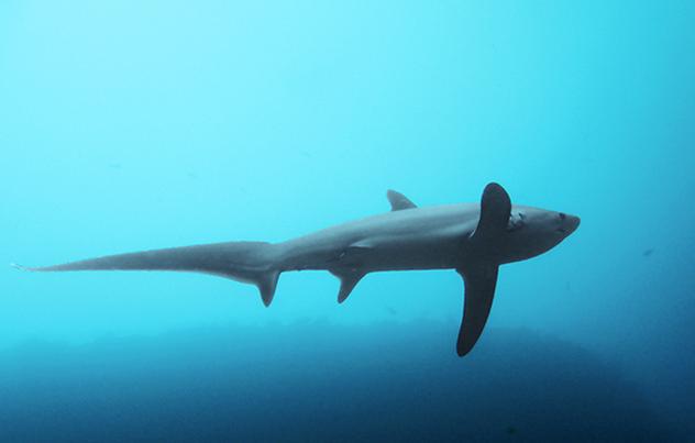 imágenes del tiburon trillador