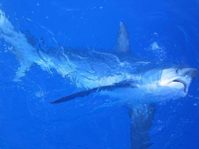 imágenes del tiburon trilladora