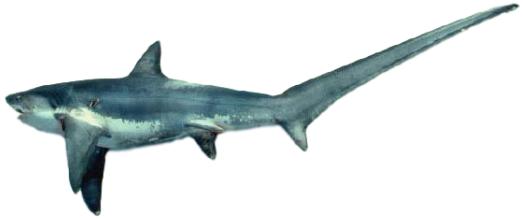 imágenes del zorro marino