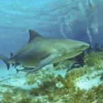 kayak tiburón toro