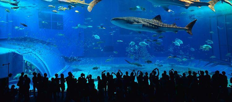 cuantos tipos de tiburones ballena existen