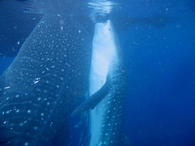 tiburon ballena alimentándose