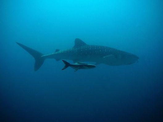 tiburon ballena bebe