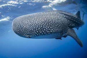 tiburon ballena roatan