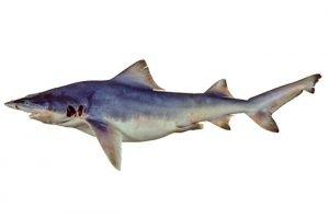 tiburón de río