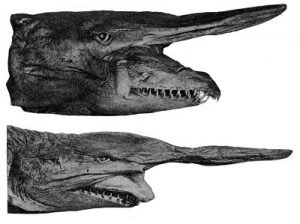 tiburon duende dientes