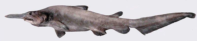 tiburon duende imágenes