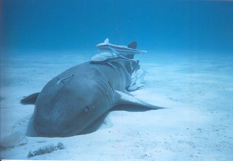 Tiburón nodriza o gato